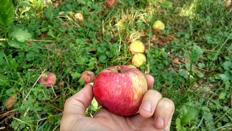 Day 123. Яблочки