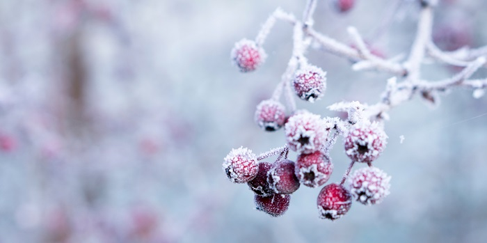 hawthorn-berries-in-a-frost.-photo-galina-n